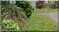 J5264 : Primroses, Reagh Island (1) by Albert Bridge