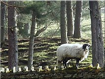SK1789 : A sheep on a wall by Andrew Hill