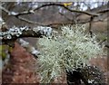 SK1790 : Lichen on a tree by Andrew Hill