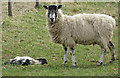 SE6796 : Sheep with dead lamb by Pauline E
