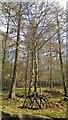 SK2479 : Silver Birch in Upper Rough Wood, below Bolehill Quarry by Chris Morgan