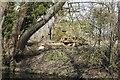 SU2298 : Seen through the trees by Bill Nicholls