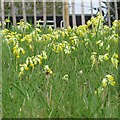 TL8425 : Cowslips in the grass, Marks Hall Estate by Roger Jones
