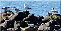 J4792 : Gulls, Whitehead by Albert Bridge