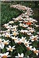 TF2623 : Tulips in Springfields Festival Gardens by Graham Hogg