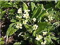TM4072 : Wild Primroses by Adrian Cable