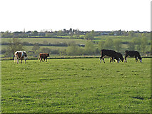 TL9326 : Cows near Porter's Lane, Eight Ash Green by Roger Jones