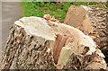 J3268 : Felled tree, Lagan towpath, Belfast by Albert Bridge