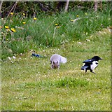 SJ9594 : Dandelions, squirrel and magpie by Gerald England
