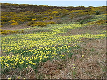 SV8808 : Wild daffodils on Kittern Hill, Gugh by David Purchase