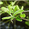SK4833 : New willow leaves by David Lally