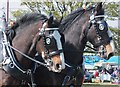 NT9334 : The first heavy horse festival comes to the UK by Barbara Carr