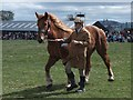 NT9334 : Suffolk Punch  at Milfield by Barbara Carr