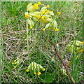 SU7088 : Cowslips on Great Cookley Hill by Graham Horn