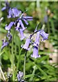 SK3892 : Bluebells in Woolley Wood by Dave Pickersgill