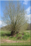 SO4313 : Willow trees in the Trothy valley by Philip Halling