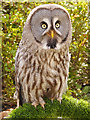 SD5705 : Great Grey Owl (Strix nebulosa) by David Dixon