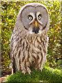 SD5705 : Great Grey Owl (Strix nebulosa) by David Dixon