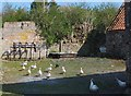 NT9828 : Free-range ducks by Barbara Carr