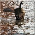 SJ9398 : An aggressive goose by Gerald England