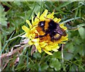 NT5834 : A bumble bee on a dandelion by Walter Baxter