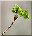 NT5833 : Emerging chestnut tree leaves by Walter Baxter