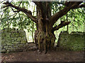 ST5573 : Old Yew Tree by Rick Crowley