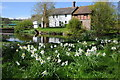 SO6856 : Daffodils and Lower Brockhampton by Philip Halling