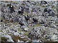 NM3442 : Feral Goats On The Rocky Eilean Droghlum by Rude Health