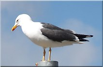 NS5565 : Lesser black-backed gull by Barbara Carr