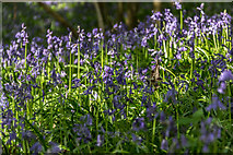 TL7835 : Bluebell Wood, Castle Hedingham, Colne Valley, Essex by Christine Matthews