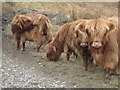 NY3001 : Highland Cattle near High Tilberthaite by Les Hull