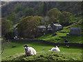 NY4805 : Sheep at Sadgill, Longsleddale by Karl and Ali