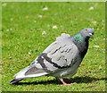 J5081 : Feral pigeons, Bangor (1) by Albert Bridge