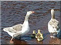 HU3145 : Geese and goslings by Oliver Dixon