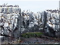NU2337 : Guillemots and kittiwakes on Brownsman by Barbara Carr
