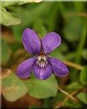 SX9065 : Violet, Chapel Hill Pleasure Grounds by Derek Harper
