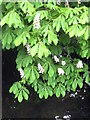TQ0486 : Horse Chestnut tree leaves and blossom overhanging the River Misbourne by Rod Allday