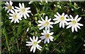 NY1716 : Greater Stitchwort by Anne Burgess