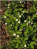 SX9066 : Strawberries in flower, former Barton tip by Derek Harper