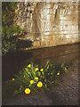 SD5175 : Dandelions under Yealand Road Bridge by Karl and Ali