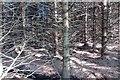 NS7582 : Sitka plantation on Denny Muir by Richard Webb