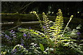 TQ4660 : Ferns and bluebells, Hayman's Wood by Christopher Hilton