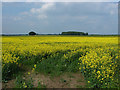 SU8378 : Yellow fields by Alan Hunt
