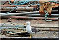 J3474 : Lesser black-backed gull, Belfast (2) by Albert Bridge