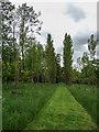 TL2308 : Poplar Trees, Hatfield House, Hertfordshire by Christine Matthews