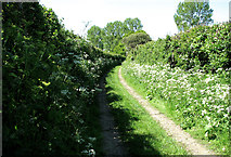 TM4592 : Cow parsley beside track to Sutton's Farm, Aldeby by Evelyn Simak