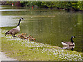 SJ9398 : Canada Geese, Peak Forest Canal by David Dixon