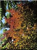SX9065 : Copper beech, Chapel Hill Pleasure Grounds by Derek Harper