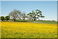 NZ0811 : Buttercup field with trees by Trevor Littlewood